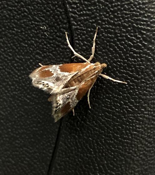 Chalcoela pegasalis
