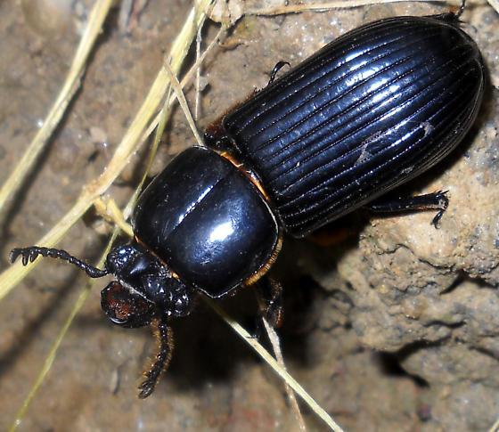 Beetle ID Request - Odontotaenius disjunctus