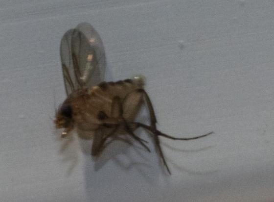 Very Tiny Fly