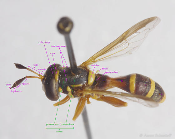 Labelled male Polybiomyia from the Essig Museum - Polybiomyia townsendi - male