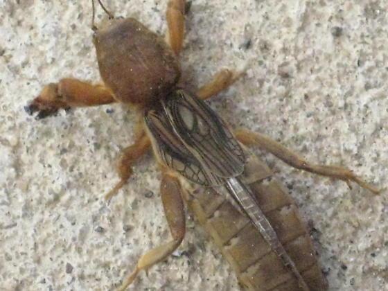 need id on bug - Neocurtilla hexadactyla - female