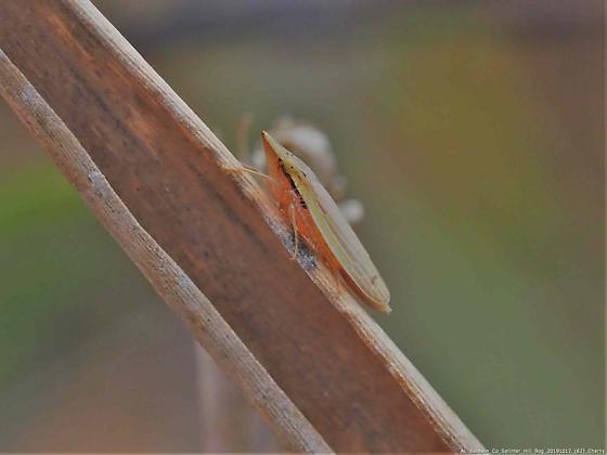 Draeculacephala  - Draeculacephala septemguttata