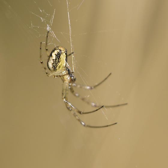 autumn spider - Metellina segmentata - female