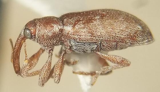 Dorytomus squamosus LeConte - Dorytomus squamosus