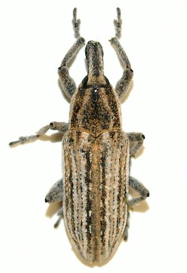 Lixinae - Scaphomorphus poricollis