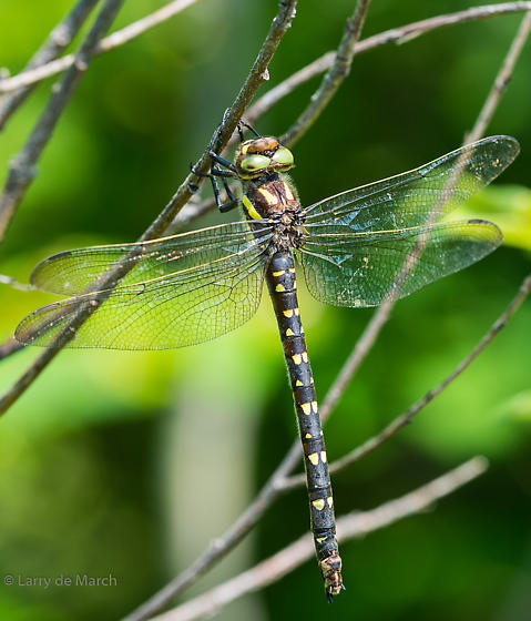 Twin-spotted spiketail - Cordulegaster maculata - female