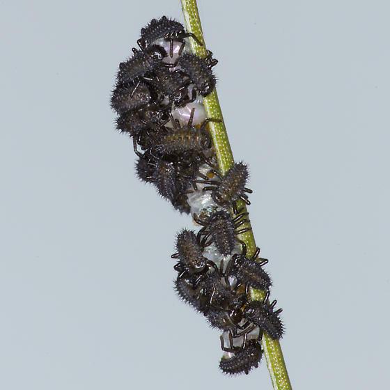 Mystery Hatchlings - Harmonia axyridis