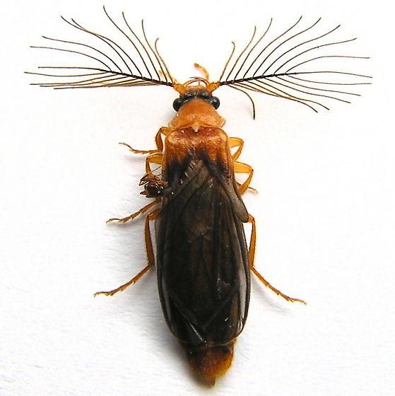 Phengodes plumosa - male
