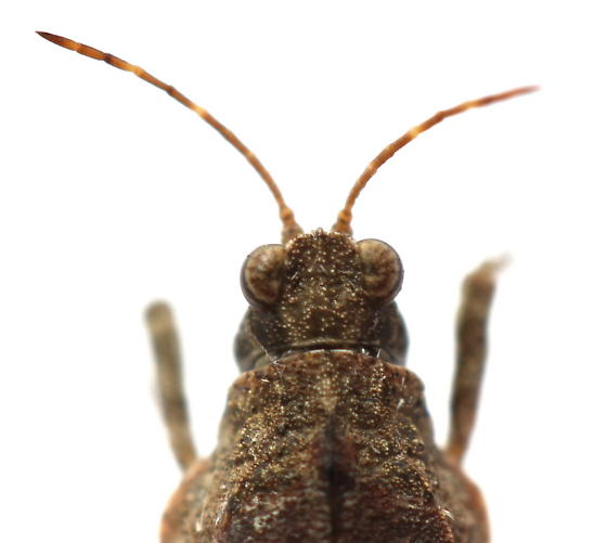 Tetrix ornata - male