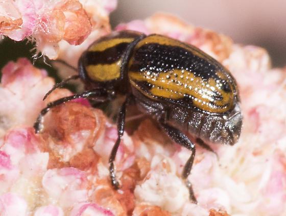 Unknown Beetle - Cryptocephalus castaneus