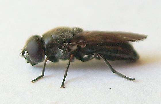 Unknown Fly - Cheilosia