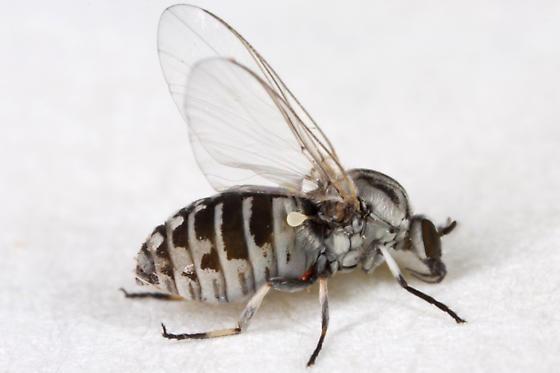 Unknown Fly - Simulium - female