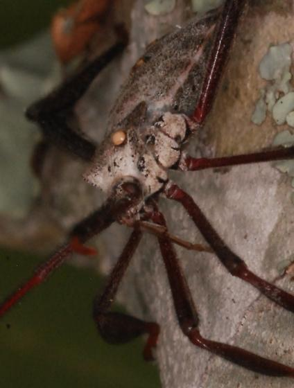 leaf footed bug? with parasite?