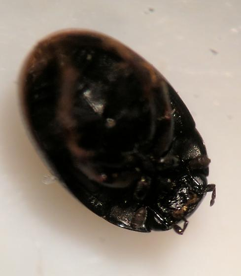 Little black beetle - Cercyon