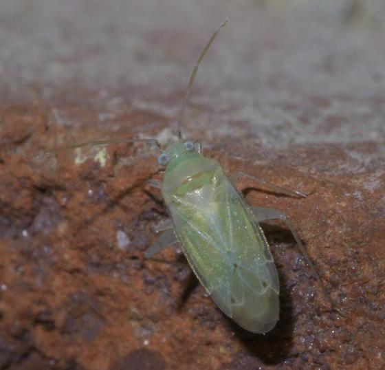 Green plant bug with white legs - Americodema