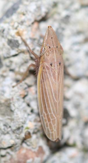 Draeculacephala? - Draeculacephala septemguttata