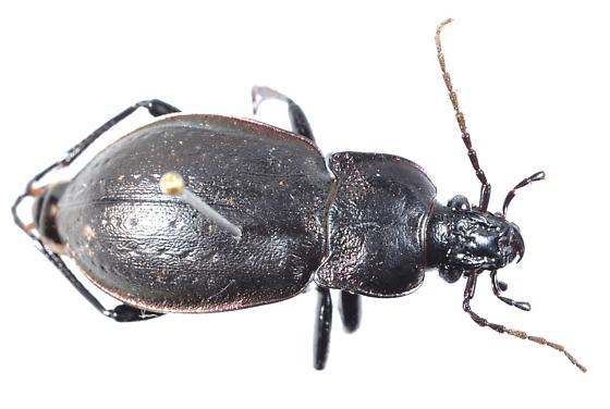 Inchelium carabid - Carabus nemoralis