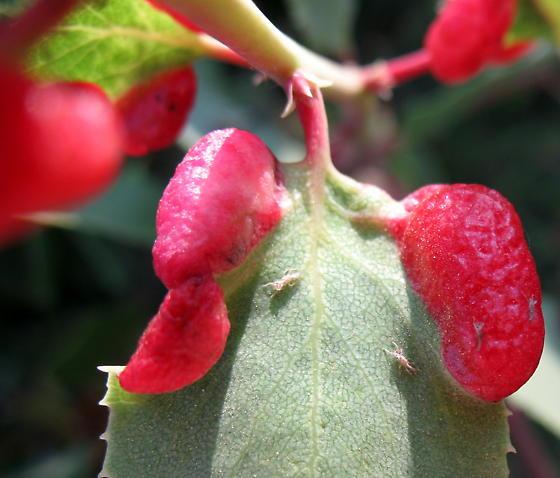 Manzanita Leaf Gall Aphid - Tamalia coweni