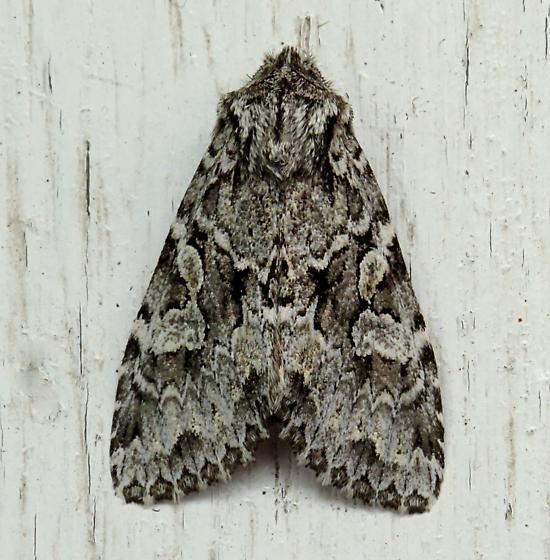 Platypolia anceps - Platypolia anceps