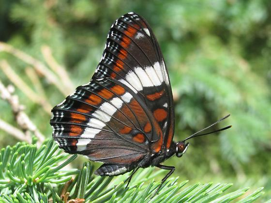Limenitis arthemis arthemis - Limenitis arthemis