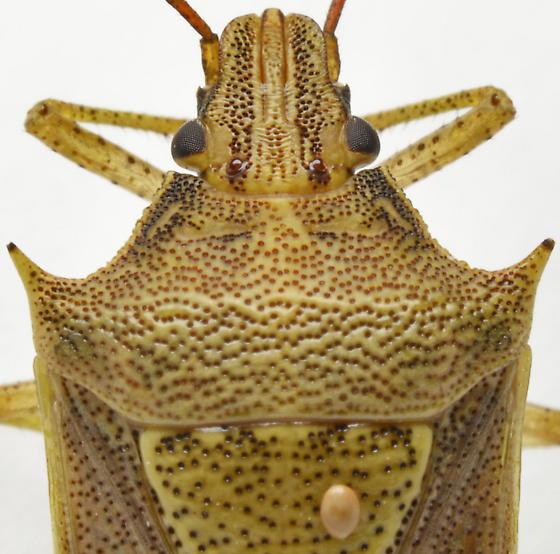 Oebalus pugnax