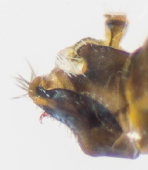 Leafhopper - Alebra fumida - male