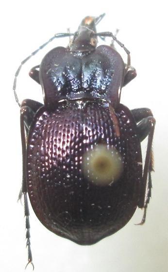Scaphinotus (Scaphinotus) vandykei Roeschke - Scaphinotus vandykei