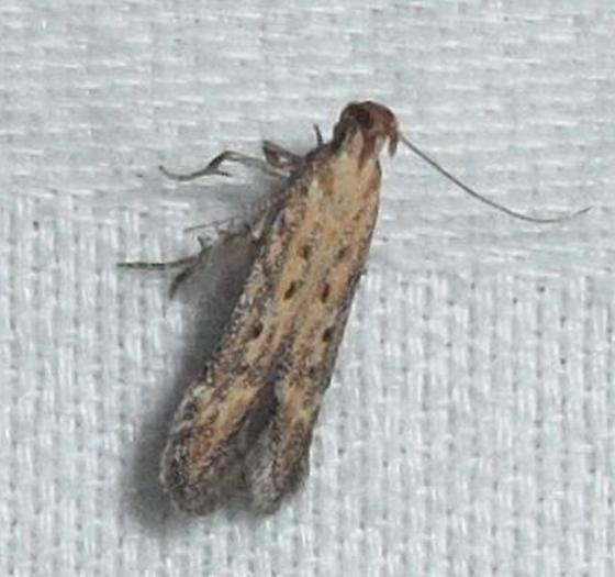 Gelechioidea???? - Metzneria paucipunctella