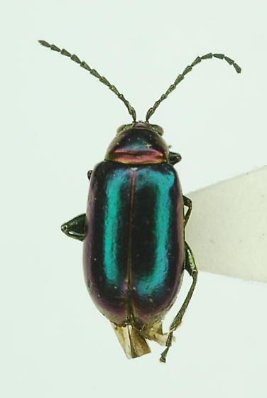 chrysomelid: Syphraea sp.? - Altica torquata