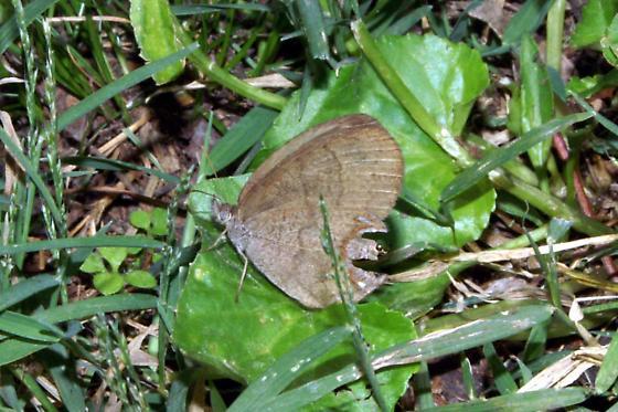 Gemmed Satyr For Illinois In October - Cyllopsis gemma