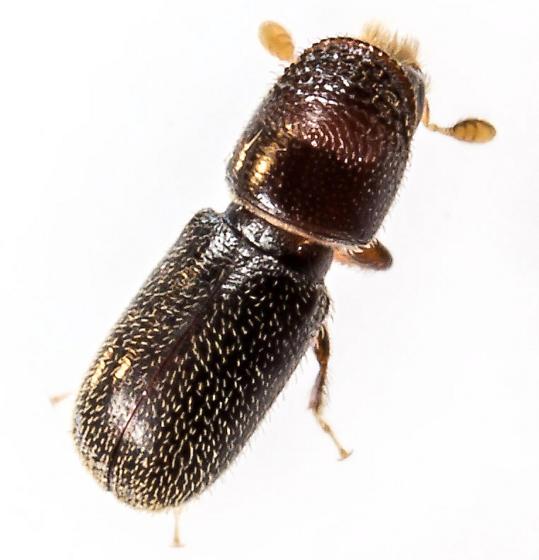 Scolytinae ? - Pseudopityophthorus minutissimus