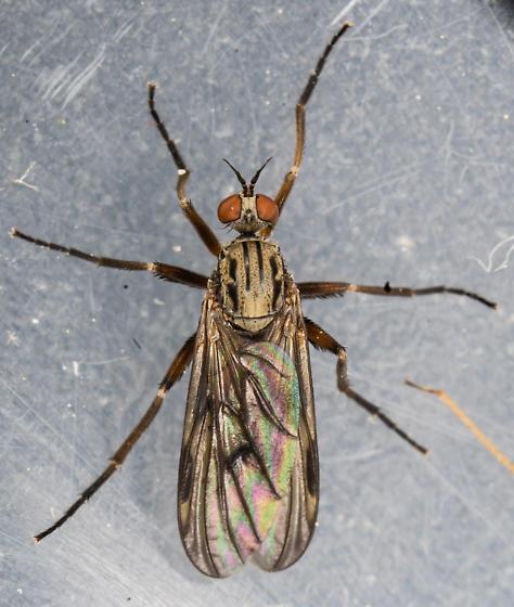 Snipe - Rhamphomyia