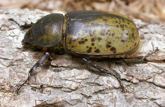 Eastern Hercules Beetle: Female - Dynastes tityus - female
