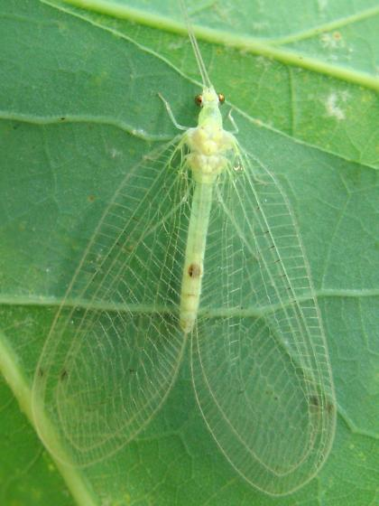 Leucochrysa insularis? - Leucochrysa insularis
