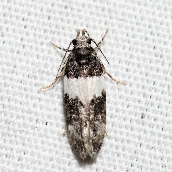 moth - Pubitelphusa latifasciella