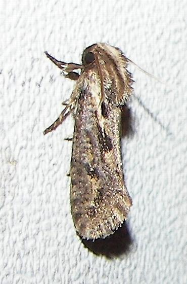 Bad hair day moth - Acrolophus popeanella