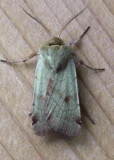 Noctuidae: Paradiasia littoralis? - Paradiarsia littoralis