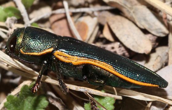 Metallic Beetle - Thrincopyge ambiens