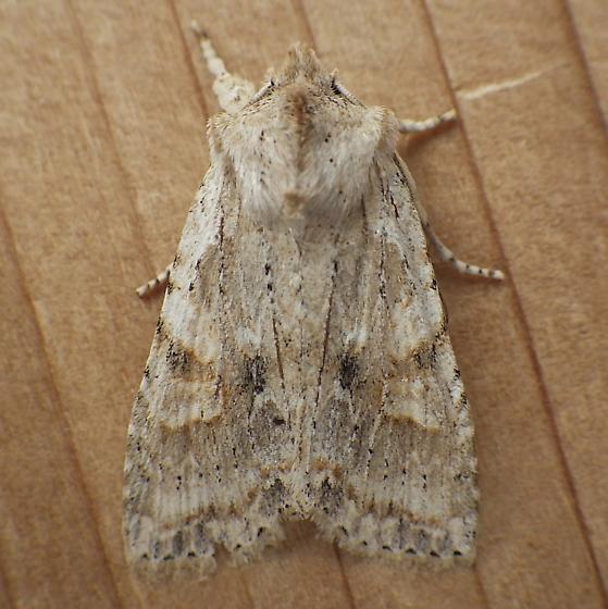 Noctuidae: Lithophane - Lithophane bethunei