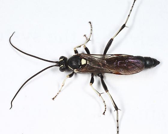 Ichneumon - Virgichneumon subcyaneus - male