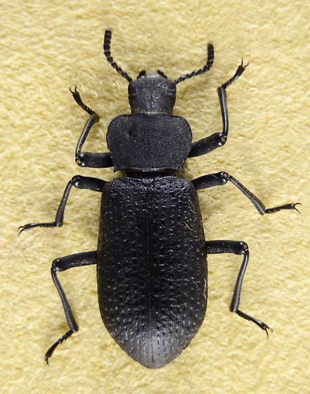 Iphthiminus? - Iphthiminus serratus