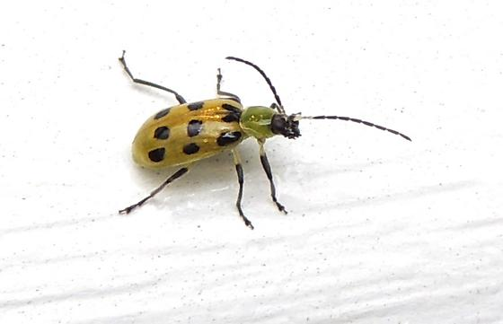 Spotted cucumber beetle for August - Diabrotica undecimpunctata