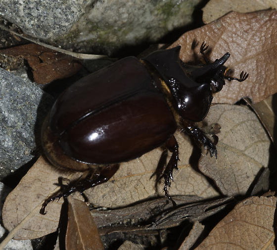 Male ox beetle - Strategus aloeus - male