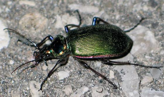 big green beetle - Calosoma scrutator
