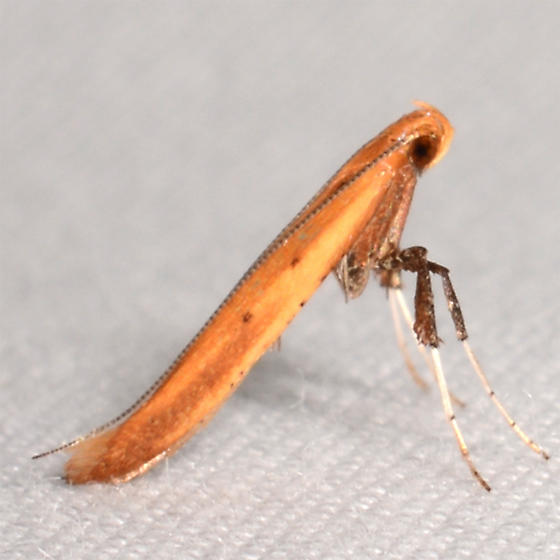 Caloptilia sassafrasella