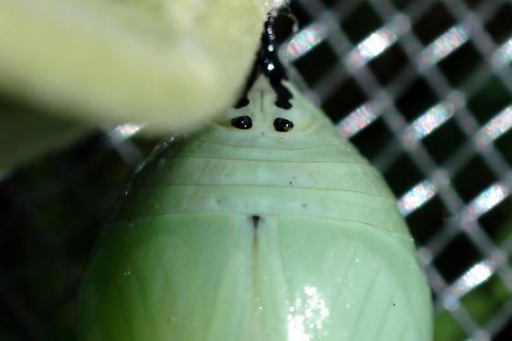 Monarch pupa - male - Danaus plexippus - male
