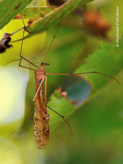 Cranefly-like - Bittacus strigosus