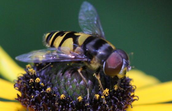 Transverse flower fly:  Eristalis transversa - Eristalis transversa