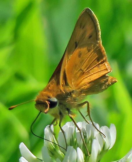 Fiery Skipper - Hylephila phyleus - male