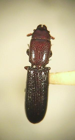 Trogossitidae - Airora aequalis